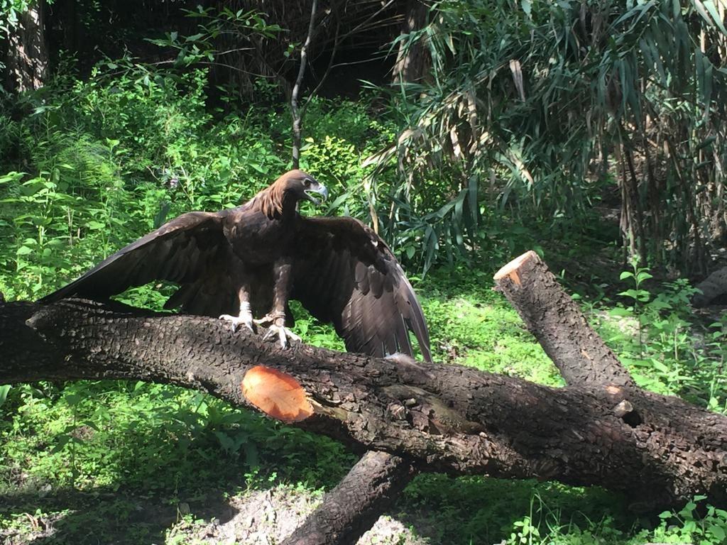 Águla real. Foto: Cortesía Africam Safari