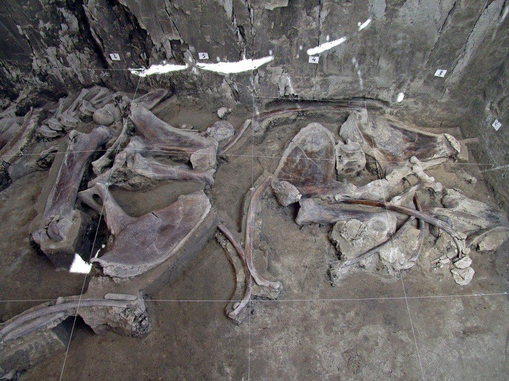 Los restos son de unos 14 mamuts. Foto: AFP