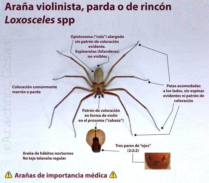 nueva-arana-violinista-mexico-picadura-loxosceles-tenochtitlan-esquema