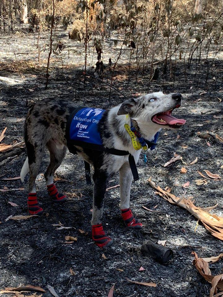bear perro heroe australia