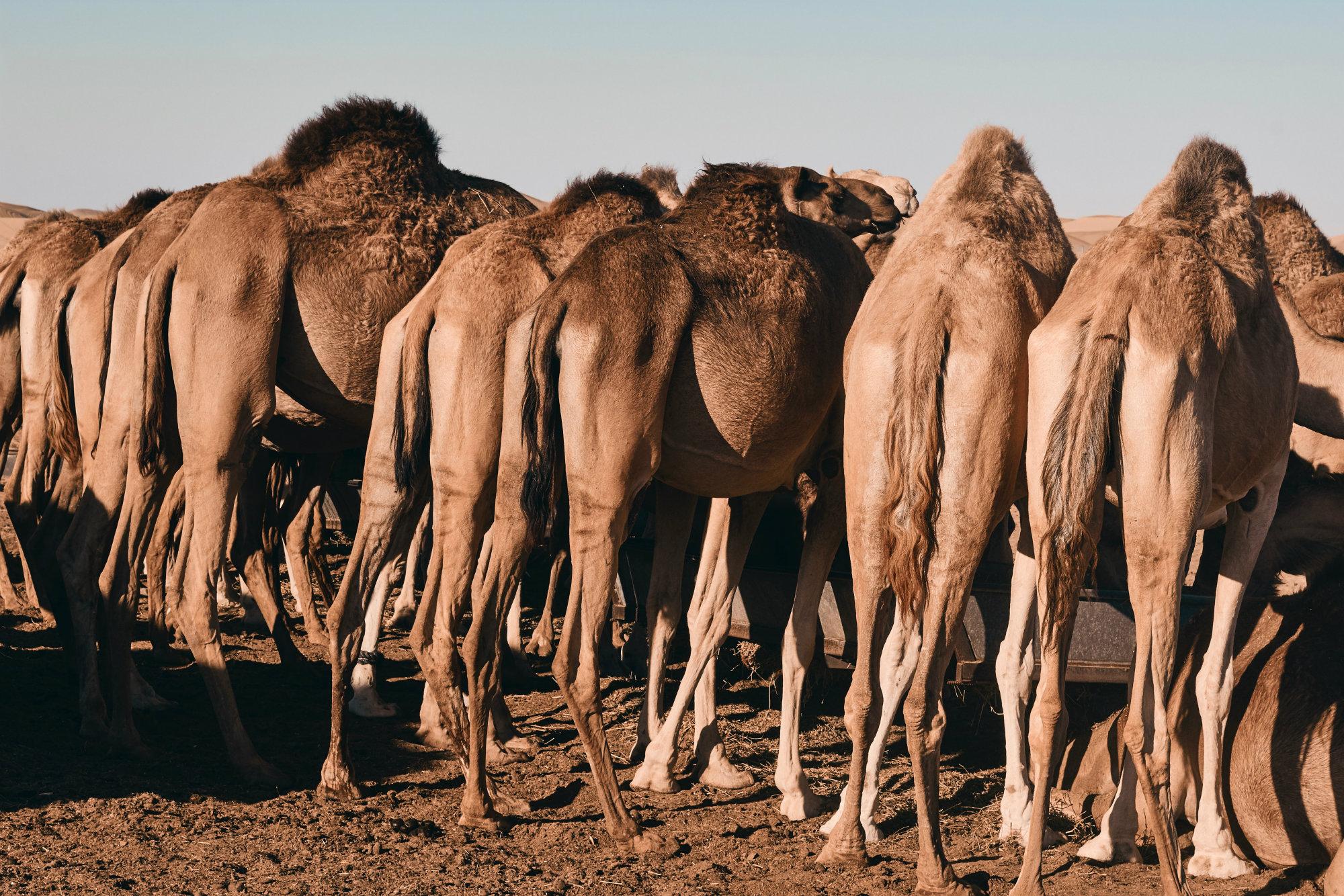 camellos de australia sacrificados