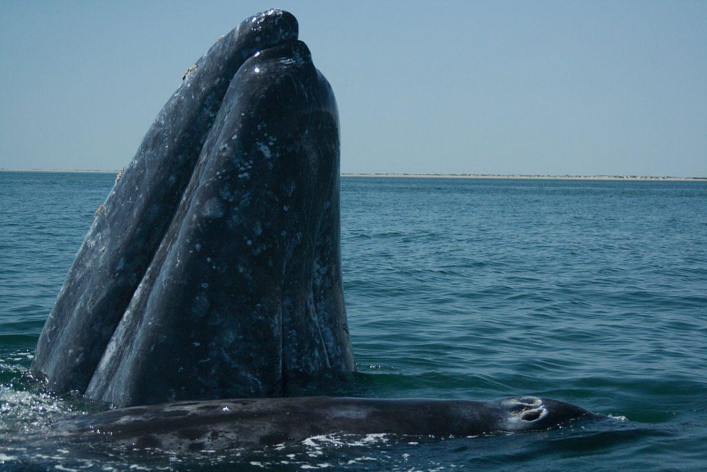 La ballena gris es juguetona y curiosa.