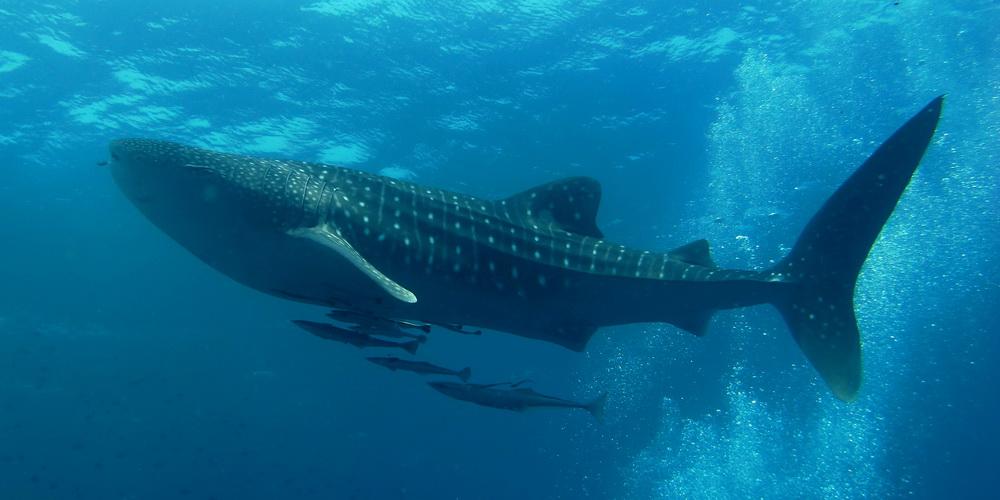 Entre octubre y marzo es más fácil encontrarse con el tiburón ballena en La Paz, BCS.