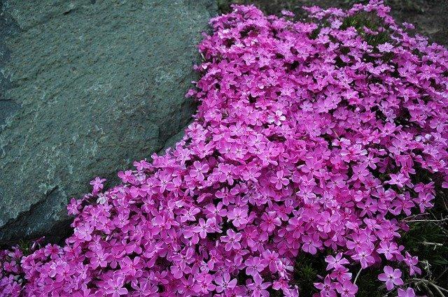 Phlox rastrero, son pequeñas flores rosadas que crecen en la primavera en Estados Unidos. Foto: Pixabay