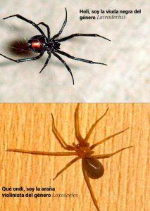 Araña viuda negra y araña violinista