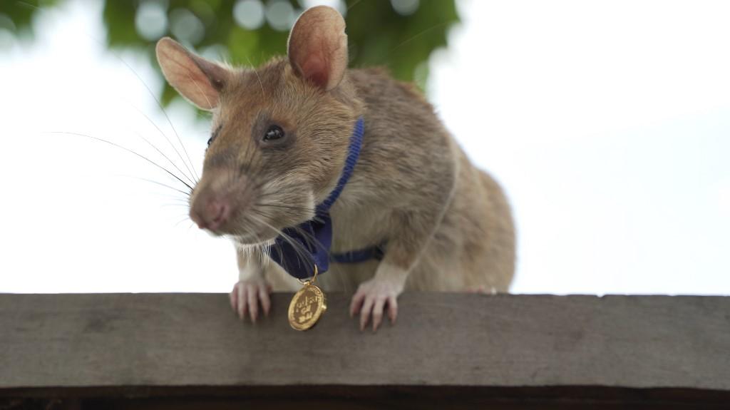 Mogawa recibió una chiqui medalla de oro por ser tan valiente. Foto: Handout | PDSA/AFP