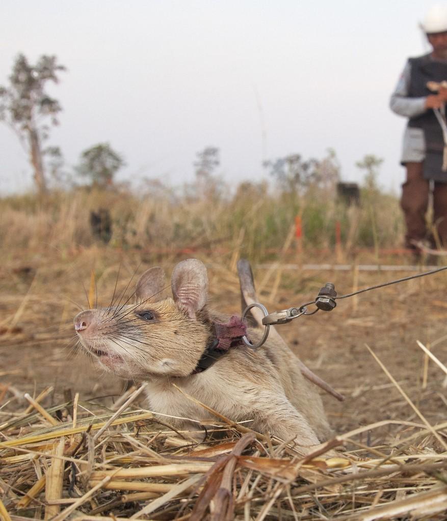 Apopo es una organización que entrena ratas gigantes africanas para detectar minas y enfermos de tuberculosis. Foto: Handout | PDSA/AFP