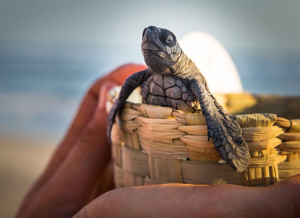 Esta es la especie más pequeña de las tortugas marinas. Foto: Cuartoscuro