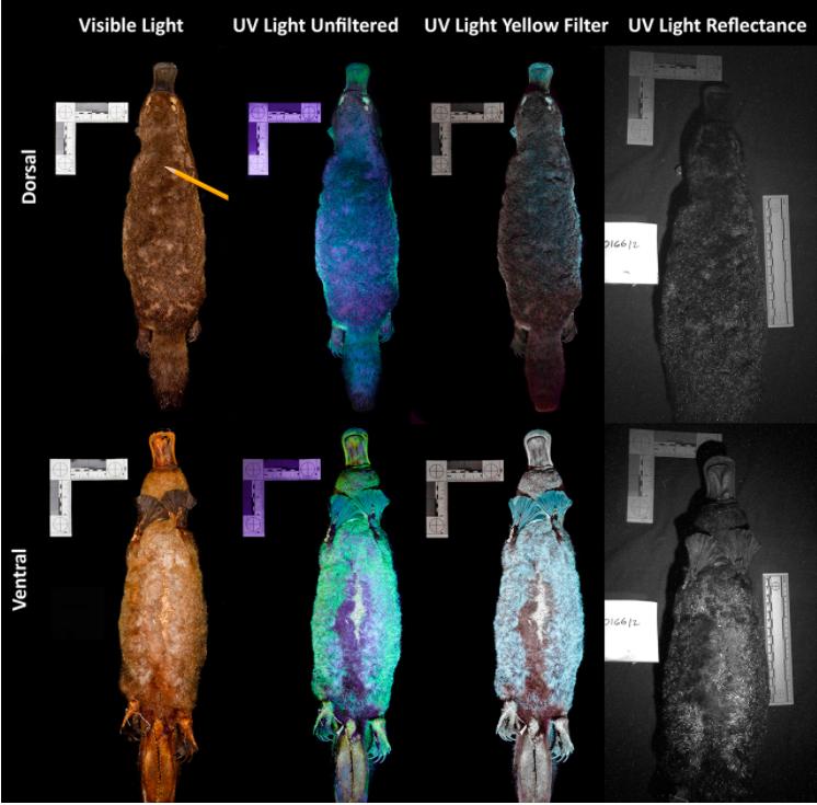 Ornitorrincos vistos bajo luz UV. Imagen: De Gruyter