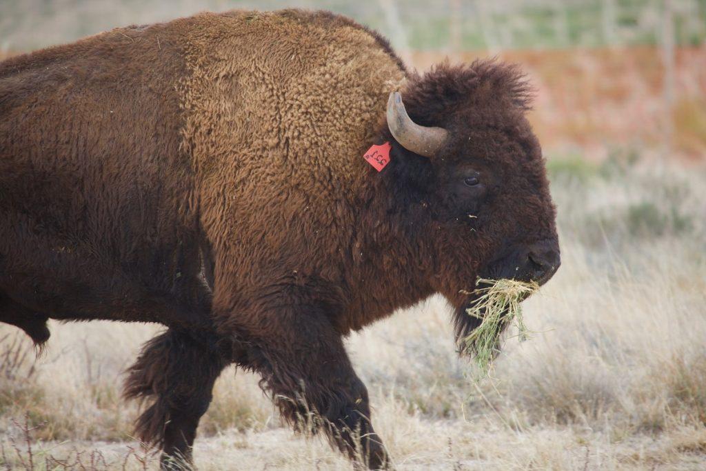 Bisonte americano. Foto: Conanp