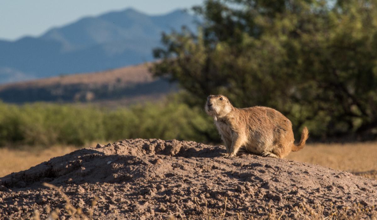 Perritos de la pradera en Janos, Chihuahua. Foto: Ganesh Marin | Cortesía doctor Ceballos, Instituto de Ecología de la UNAM