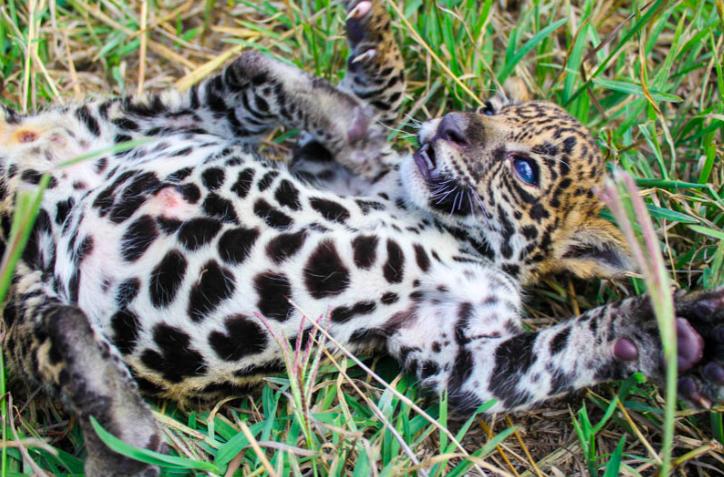 Foto: sitio oficial de Jaguares en la Selva.