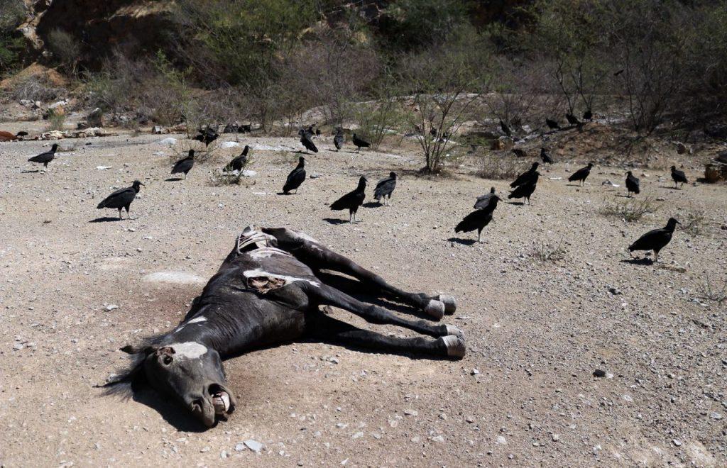 La pérdida de vidas de animales es otro efecto de la sequía. Foto: Cuartoscuro