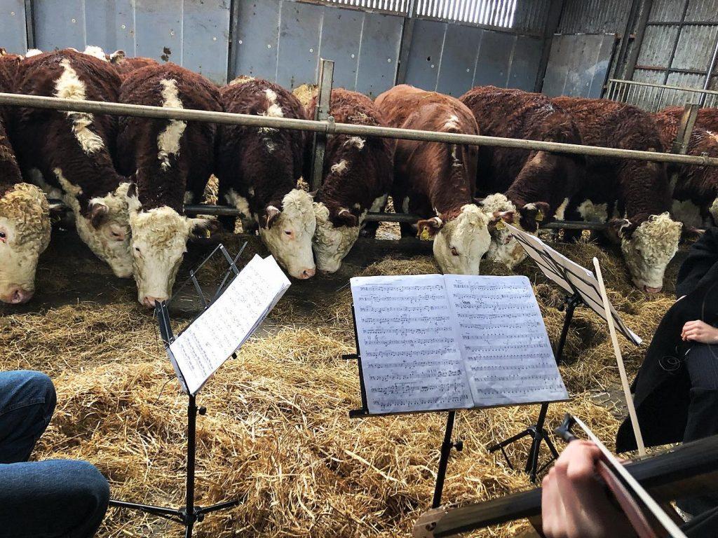 Alumnas de la Escuela Escandinava de Chelo ofrecen conciertos a vacas. Foto: Facebook Scandinavian Cello School / Jacob Shaw