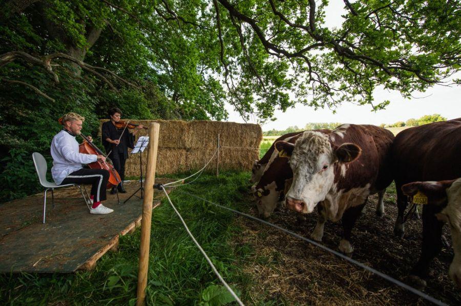 música clásica vacas dinamarca