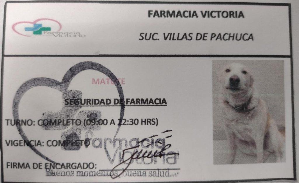 El gafete de Matute, el perro de seguridad de la Farmacia Victoria de Pachuca. Foto: Facebook Adriana Dorazco